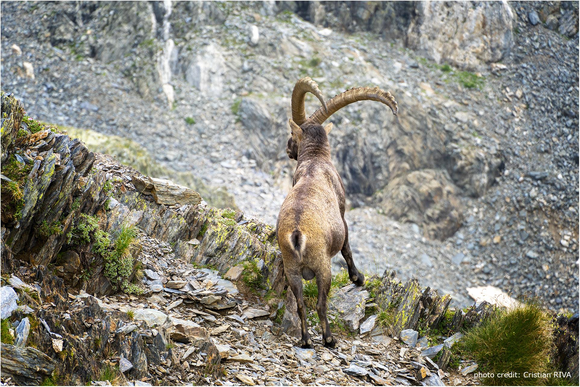 Stambecco sul sentiero del Pizzo Cantolongo