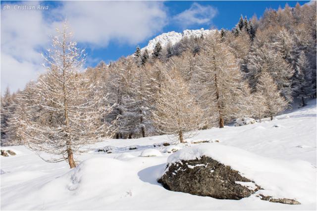 Ciaspolata in Val Canè: larici innevati