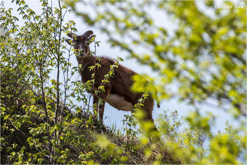 Monte Moregallo via Preguda: Occhi indiscreti osservano da dietro la boscaglia