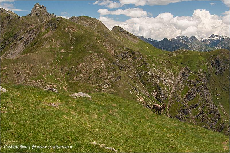 Anello rifugio Benigni: stambecco lungo il sentiero dei vitelli