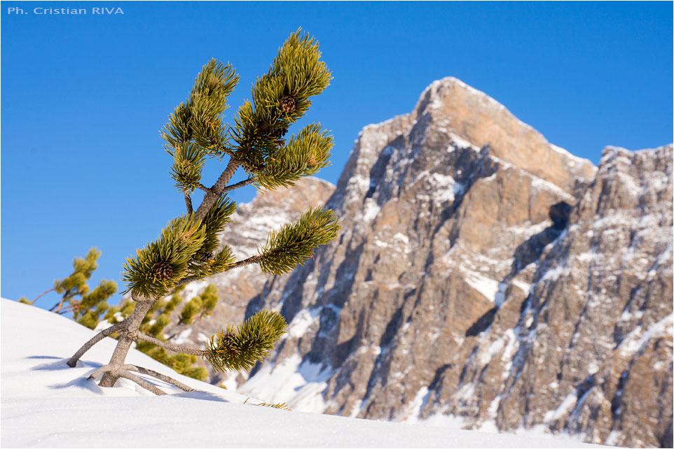 Ciaspolata a San Bernardino: pino mugo