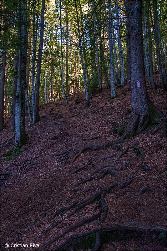 Monte Pradella: nella bella faggeta