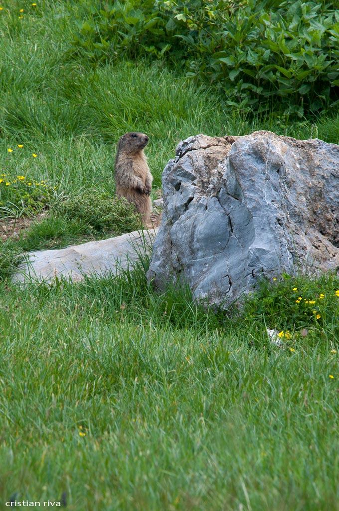 Monte Ferrante da Valzurio: marmotta