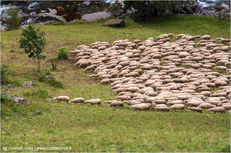 Monte Masoni: pecore al pascolo